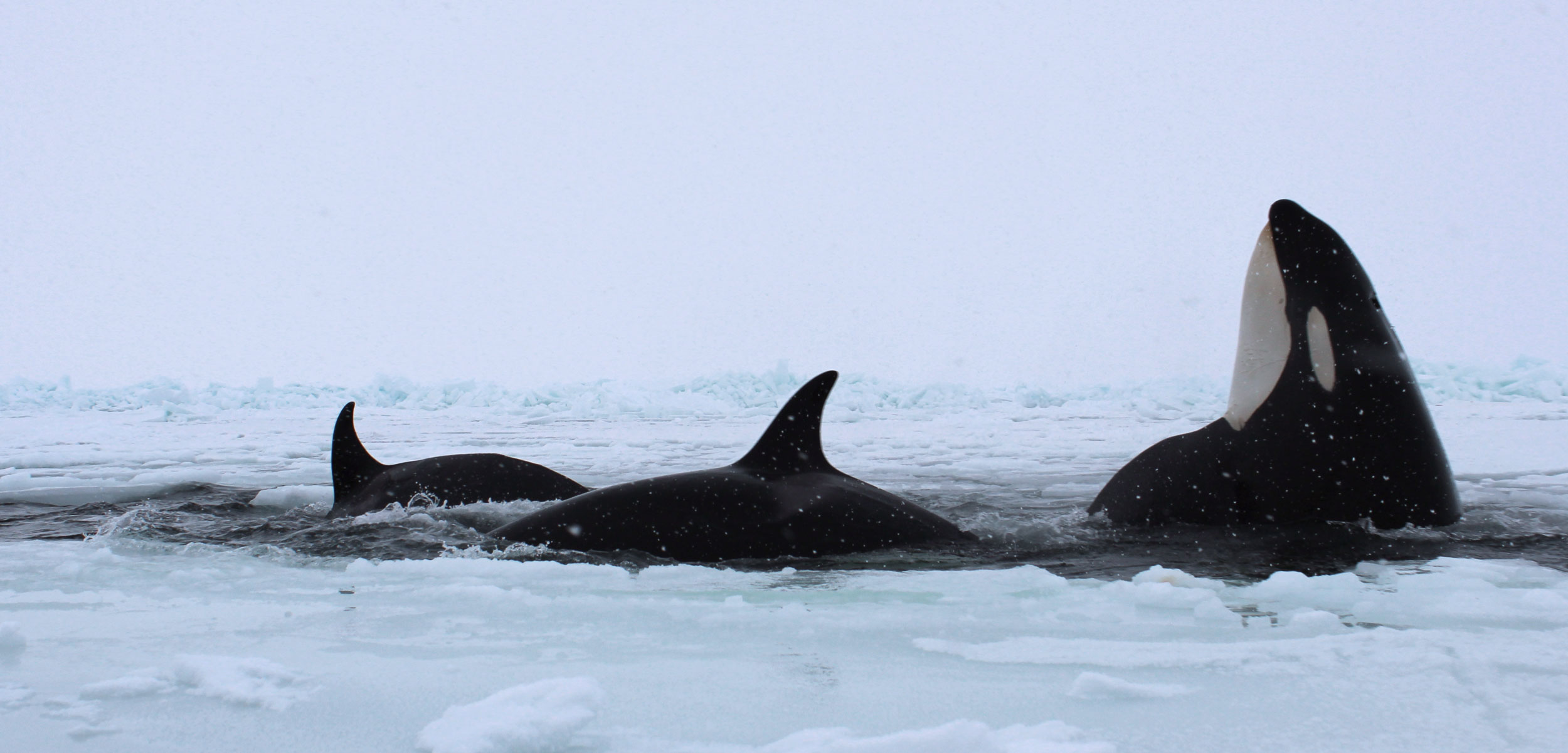 Orcas in the Arctic